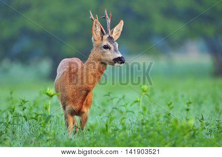 Wild roe deer (Capreolus capreolus) standing in a field