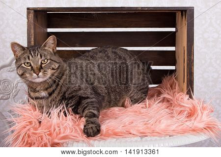A Manx cat laying in a wooden crate on fuzzy blanket