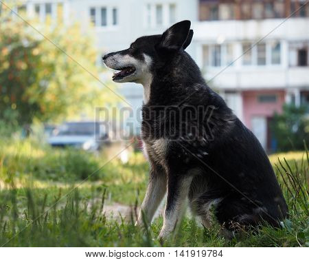 Outdoor dog sitting in the courtyard of a multistory building. The problem of stray animals rabies