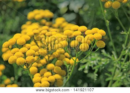 Tansy yellow flowers on blurred background in summer
