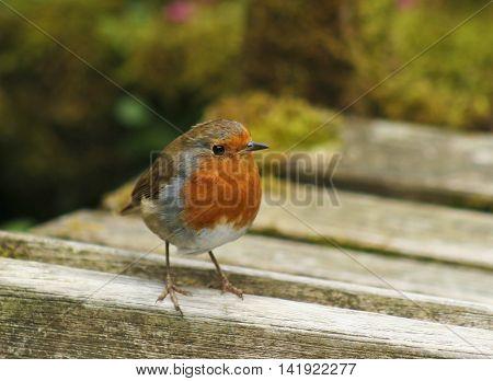 A Close Up of a European Robin Erithacus rubecula on a Wooden Bench
