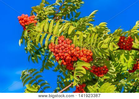 Red rowan berry with blue sky in background.