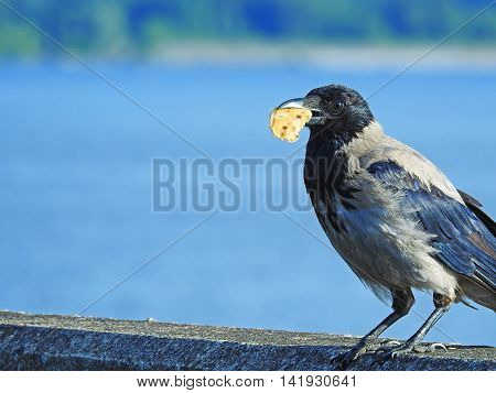 Big crow with a piece of bread sitting near river coast