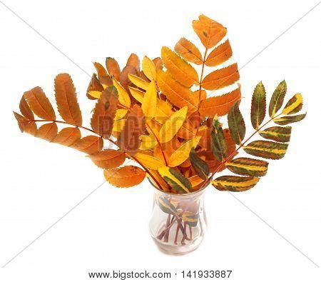 Multicolor Autumn Rowan Leafs