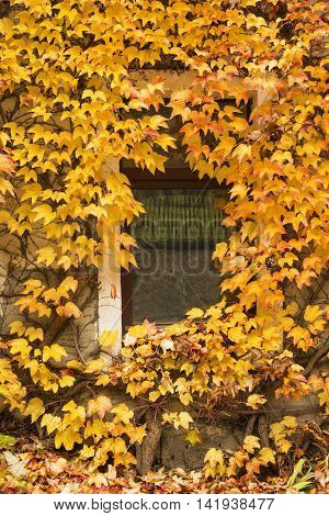 Wall of an old house covered with autumn colorful foliage of liana