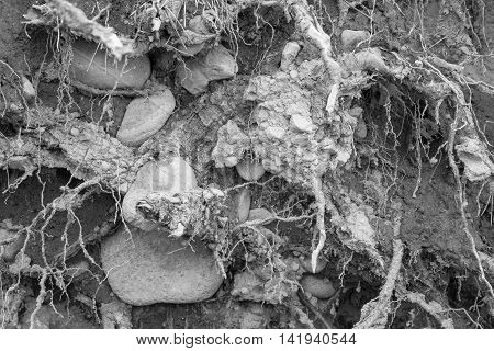 old soil with stones and with plant roots for a natural abstract background of monochrome gray tone