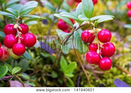 bunches of wild red berries of cowberry on branches with green foliage closeup for a natural background