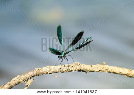 insect dragonfly green iridescent beauty sitting on a tree branch with its wings outstretched