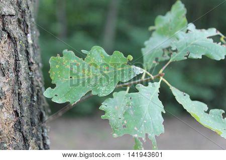 beautiful green oak leaf shaken by the wind alone