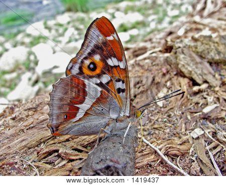 Butterfly Amur Purple (Apatura Iris Amurensis)