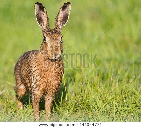 Brown Hare in field,eating grass, wet from bathing in puddle (Lepus europaeus)