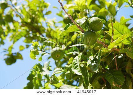 Unripe Green Mandarin Fruits On A Tree