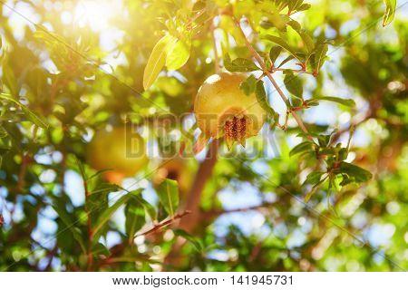 Unripe Green Pomegranates Fruit On Tree Branch