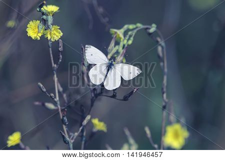 white butterfly hovers over yellow flowers collecting nectar in the summer