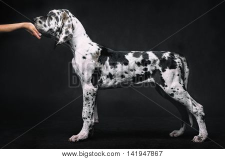 Portrait of a beautiful dog on a black background