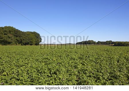 a flowering potato crop in the yorkshire wolds with mature trees under a clear blue sky in the yorkshire wolds in summer
