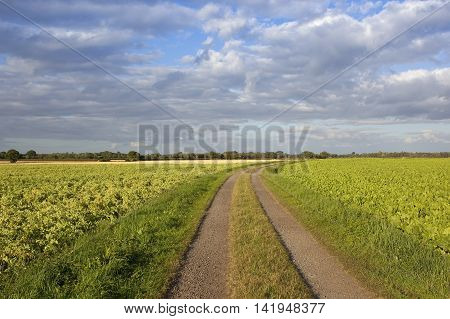 a farm track running through potato and sugar beet crops on a sunny evening in yorkshire under a blue cloudy sky