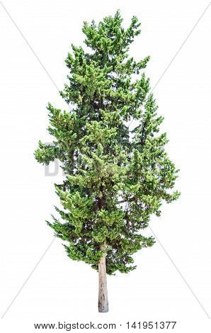 Old cypress tree isolated over white background