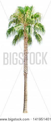 High palm tree isolated on white background. Washingtonia filifera.