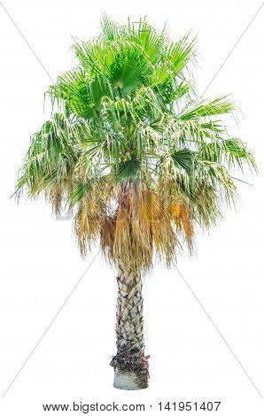 Palm tree isolated on white background. Washingtonia filifera.