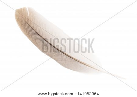 Single pigeon feather isolated on white background