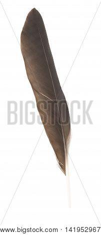 Single black feather isolated on white background