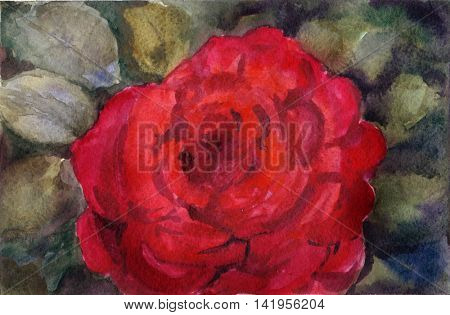Watercolor hand drawn red rose on green leaves background