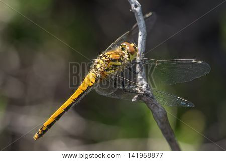 Female Black Darter dragonfly (Sympetrum danae) perched on a twig.