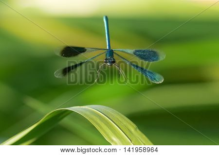 Male Banded Demoiselle damselfly (Calopteryx splendens) in flight. Head-on or front view