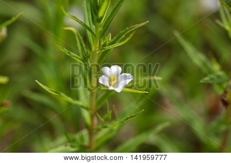Flower of a gratiole (Gratiola officinalis) an endangered plant of Europe.