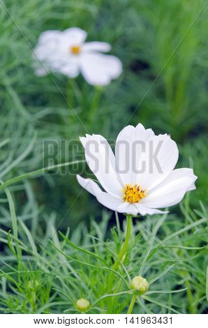 White Cosmos Flower Or Spanish Needle Flower With Grass Background