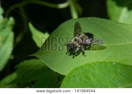 Robberfly Laphria sacrator perched on a leaf waiting for prey.