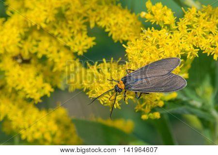 Virginia Ctenucha Moth feeding on nectar from a goldenrod plant.