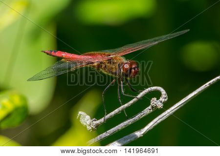 Red Saddlebags dragonfly Tramea onusta perched on a plant.