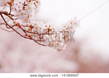 Cherry blossom in full bloom. Shallow depth of field.