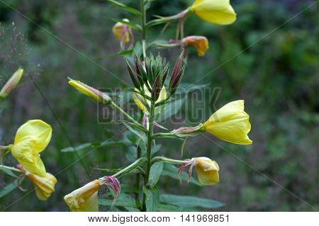 Flowers of a common evening primrose (Oenothera biennis).