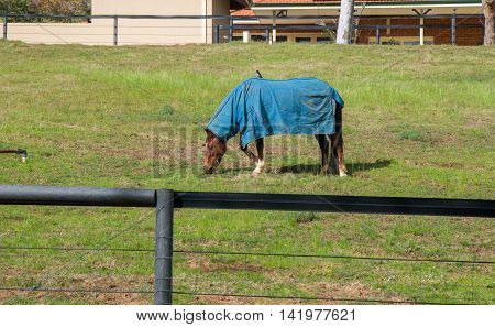 Chestnut brown horse with blue winter blanket in agricultural farmland with black and white willie wagtail bird on its back in the Swan Valley in Western Australia