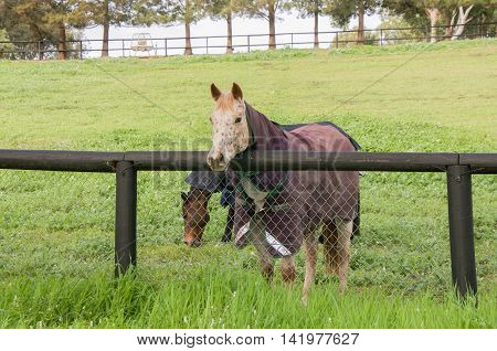 Cream horse and chestnut brown horse with winter blanket in agricultural farmland in the Swan Valley in Western Australia