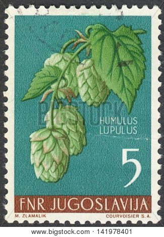 MOSCOW RUSSIA - CIRCA MAY 2016: a post stamp printed in YUGOSLAVIA shows a Humulus lupulus plant the series