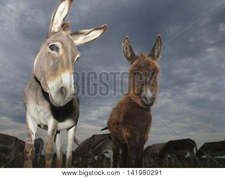 Mother and baby donkeys on the cloudy day