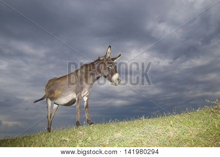 Donkey on the meadow on overcast day