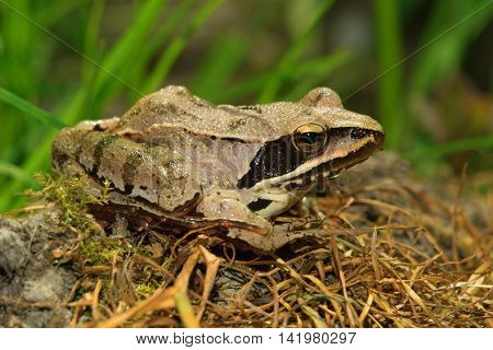 Agile Frog Rana dalmatina on the forest