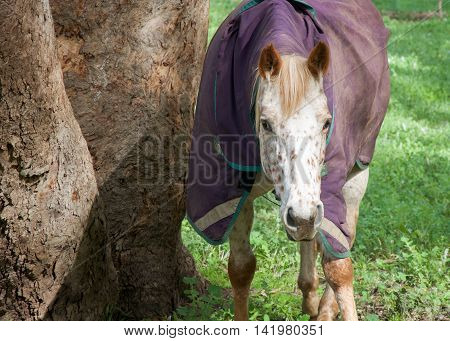 Cream horse with markings and strawberry blond hair with purple winter blanket walking in agricultural farmland in the Swan Valley in Western Australia