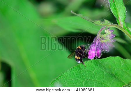 Bumblebee gathers nectar from a small purple flower.