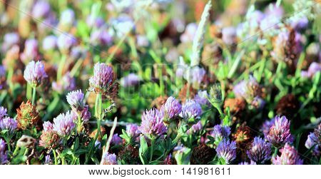 Clover flowers growing wild in a coastal environment