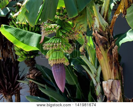 Banana tree with purple flower and growing fruit.