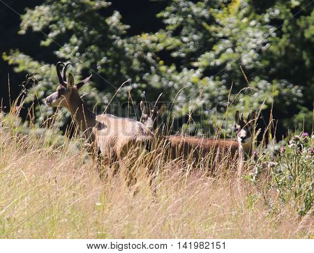 Hidden In The Grass Family Of Chamois