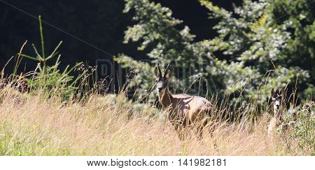 Two Young Deer Hiding In The Grass Mountains Alps