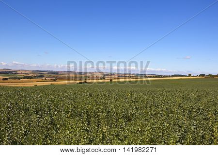 Field Beans In Yorkshire