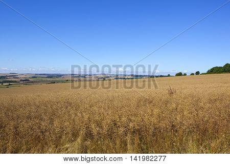 Yorkshire Canola Crop